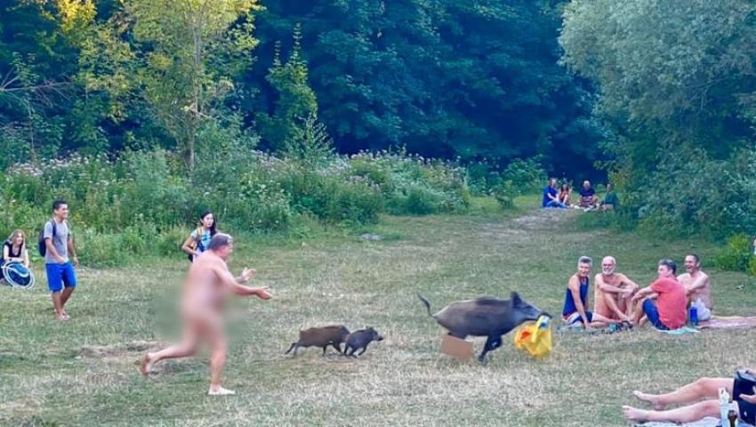 Un nudist din Berlin a fugarit un mistret cu doi pui, dupa ce animalul a iesit din padure si i-a luat laptopul