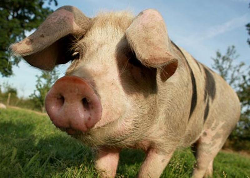 De ce musulmanii nu consuma carne de porc