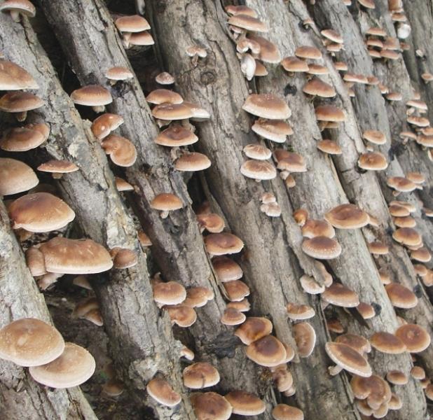 ciuperci mici