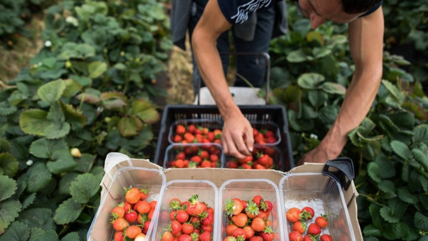 Avioane cu lucratori agricoli Est-europeni continua sa soseasca in Germania