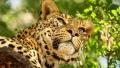Un fotomodel a fost muscat de cap de un leopard in timpul unei sedinte foto