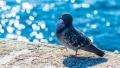 Porumbelul calator din SUA este… din Australia. N-a fost niciodata in America