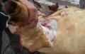 Italia: Patru romani, cercetati de Politie dupa ce au taiat un porc in curte