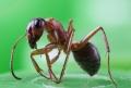 Eliminarea bolnavului sau izolarea grupului? Cum procedeaza furnicile in cazul epidemiilor