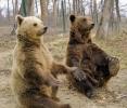 DOI URSI DIN RUSIA, TRIMISI LA DEZALCOOLIZARE IN ROMANIA