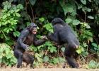 Marele razboi de patru ani al cimpanzeilor