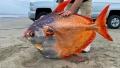 Pe o plaja din Oregon, a fost descoperit un peste neobisnuit, de 45 de kilograme