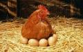 """Un grup de cercetatori crede ca are raspunsul corect la intrebarea """"Care a fost primul, oul sau gaina?"""""""