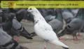Planeta porumbeilor?