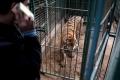 O femela de tigru siberian a ucis o ingrijitoare la gradina zoologica din Zurich