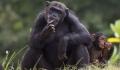 Oamenii au influentat vinatoarea si agresivitatea la cimpanzei