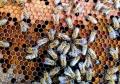 O singura albina din Africa de Sud a creat o armata nemuritoare de milioane de clone