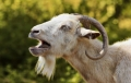 Mare scandal in Anglia: caprele batute la o ferma pling de durere