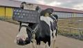 Modul inedit prin care vacile reusesc sa produca mai mult lapte intr-o fermă din Rusia