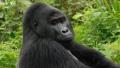 Un individ care a ucis o gorila a riscat inchisoarea pe viata, dar pina la urma a primit doar 11 ani de detentie