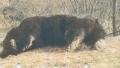 Un print austriac a ucis ilegal cel mai mare urs din Romania