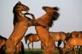 Nu mai exista cai salbatici pe Pamint