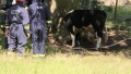 O vaca prea curioasa a ramas cu capul blocat intr-o scorbura de copac