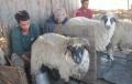 """Scandalul din Romania al laptelui """"parfumat"""" cu cacareze de oaie. In RM o fi existind o astfel de metoda?"""